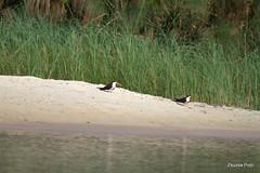 African Skimmer (Rynchops flavirostris), Okavango (Zsuzsa Por) Tags: africa bird nature animal wildlife safari botswana moremi animalplanet okavango skimmer okavangodelta wildlifeafrica canonef2470mmf28 canonistas canoneos7d canonef70200mmf28lisusmii