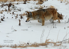 On the Hunt (Windows to Nature) Tags: coyote winter wild snow hunting wildanimal kanecounty fermilab fermi illinoisriver windowstonature