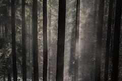 Dampfende Bume / steaming trees (thunderbird-72) Tags: winter fog forest germany deutschland nebel hiver steam wald allemagne brouillard fort saar saarland rheinlandpfalz dampf sarre vapeur tabenrodt nikond7100 dampfendebume