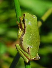 Rela / Common tree frog (anacm.silva) Tags: wild naturaleza portugal nature wildlife natureza hylaarborea rela anfíbio salreu commontreefrog bioria