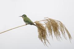 Blue-cheeked bee-eater on Zambezi River (jacashgone) Tags: bird nikon namibia nam d90 katimamulilo zambeziriver bluecheekedbeeeater meropspersicus nikond90