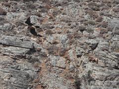 Gypaetus barbatus feeding (Jef Dockx) Tags: feeding crete psiloritis beardedvulture gypaetusbarbatus lammergier