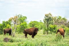 Bison (Adan Simpson) Tags: summer country australia bison summerrain
