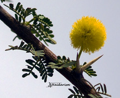 Yellow and Green (haidarism (Ahmed Alhaidari)) Tags: plant flower macro green nature yellow leaf bokeh outdoor ngc depthoffield bud thorn macrophotography sonya65