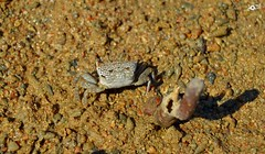 wonderful gray crab (Doctor Ahmed Badr) Tags: sea redsea gray egypt crab