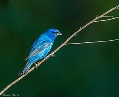 Indigo Bunting (b88harris) Tags: county blue light sunlight male bird creek nikon exposure hiking pennsylvania indigo sunny 300mm valley nikkor dauphin clarks bunting specanimal d7200
