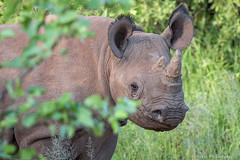 Rhinoceros (WeeMac1) Tags: safari rhino zimbabwe victoriafalls endangered rhinoceros blackrhino