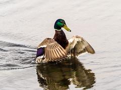 Stockente (Anas platyrhynchos)  Mallard (g3Tography) Tags: duck wildlife mallard vgel ente fehmarn stockente fehmarnvgelmwen
