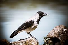 _DSC6222 (syderianus) Tags: bird crow uccello cornacchia