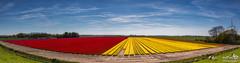Panorma tulip fields (BraCom (Bram)) Tags: flowers red sky panorama holland windmill field yellow canon landscape sheep tulips farm nederland nl geel rood veld bloemen schapen tulpen windmolen boerderij tistheseason zuidholland goereeoverflakkee southholland canonef24105mm sluierbewolking bracom stadaanhetharingvliet veilclouds canoneos5dmkiii bramvanbroekhoven