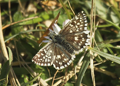 Photo of Butterfly - Grizzled Skipper