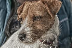 Jess (juliet22) Tags: portrait dog animal photography switzerland terrier hdr verbier