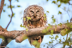 The typical male barred owl's call (fsong) Tags: call owl barred