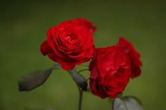 Roses (pawianxc) Tags: flowers red roses flower macro green rose kwiaty kwiat ra re