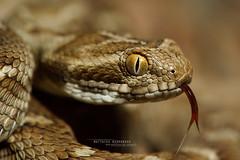 Echis carinatus (Matthieu Berroneau) Tags: trip field iran reptile snake g indian serpent fe viper snakes 90 f28 herp oss serpiente serpente 2016 reptilia reptilian carinatus serpentes echis herping herpeto echiscarinatus carénée sawscaled indiansawscaledviper sonya7ii sonya7mk2 sonyalpha7mark2 sel90m28g fe90f28macrogoss objectifsony90mmf28macrofe sonyfesonyfe2890macrogoss échide échidecarénée