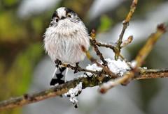 Long-tailed tit (emerycatherine) Tags: bird birds woodland nikon dof bokeh depthoffield birdwatching smallbirds birdfeeders longtailedtit woodlandtrust nikon70300mm nikond5300