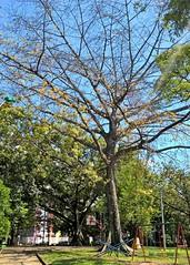 WP_20160515_10_19_26_Pro (Roberto Pea A.) Tags: verde planta cali hojas arbol cielo tronco tierra ramas mudo ramitas