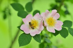 ape (ecordaphoto) Tags: flower macro nature rose nikon colore sigma natura bee ape 105 dx polline d5100