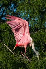big pink (fins'n'feathers) Tags: birds animals florida wildlife staugustine rookery nesting spoonbill nests roseatespoonbill alligatorfarm