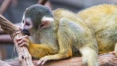 Squirrel monkey flat on the branch (Tambako the Jaguar) Tags: lying flat profile portrait branch tree primate monkey squirrelmonkey yellow zoo dhlhlzli tierpark bern berne switzerland nikon d5