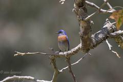 Western Bluebird lights (annpkramer@ymail.com) Tags: 500mm westernbluebird