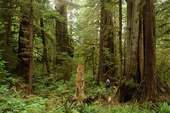 Amongst the ancient ones at Red Creek. (Henk Scholten1) Tags: old red rain vancouver creek forest island awesome growth cedar massive fir magical anchient