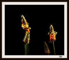 Plantago lanceolata (patrick.verstappen) Tags: flowers summer plant flower garden photo yahoo google nikon belgium pat sigma stillife hdr picassa smalle stareffect gingelom ipernity d7100 pinterest ipiccy