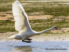Swan takeoff run NJ shore (Mike Black photography) Tags: new black bird mike nature canon big swan year birding nj shore jersey whote