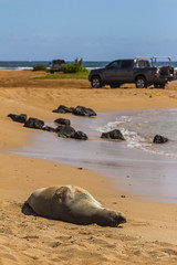 monkseal14Jun17-16 (divindk) Tags: hawaii hawaiianislands kauai neomonachusschauinslandi beach cute endangeredspecies hawaiianmonkseal lazy marine marinemammal monkseal seal sunshine whiskers
