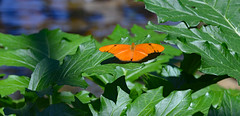 Sunbathing (BKHagar *Kim*) Tags: plants green nature butterfly insect fly al wings alabama velvet purdy flap huntsvillebotanicalgarden flitter butterflyhouse huntsvile bkhagar