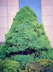 HAPPY CONIFER (FRNCKJSSLD) Tags: brussels color 120 analog europe belgium laboratory negatif rollfilm c41 45x6 fujifilmga645zi frnckjssld labolinea
