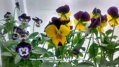 Violas mixed (Yellow & purple) on bedroom windowsill 14-06-2016 006 (D@viD_2.011) Tags: june bedroom windowsill 2016 violas