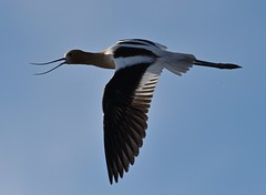 American Avocet (ebeckes) Tags: bird inflight americanavocet eugenebeckes