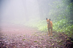 Dog in Fog (Sathish_Photography) Tags: trees dog india mist mountain green rain fog forest rainforest hills jungle greenvalley maharastra matheran greenish nikon5100 matheranhillstation nikon18105mmlens sathishphotography sathishkumarphotography