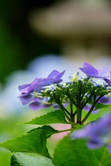 (nobuflickr) Tags:  hydrangea   hydrangeamacrophylla   mimurotojitemple awesomeblossoms  ujisi 20160612dsc02904