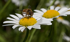 Flower Flies and Flowers (Bonnie Ott) Tags: fly daisy flowerfly