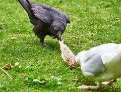 Tug-O-War (pierre_et_nelly) Tags: corneille crow mwe corvid gabbiano larusargentatus gaivota herringgull goland cornella corvus corvidae carrioncrow corvuscorone cornacchia silbermwe europeanherringgull gralhapreta golandargent rabenkrhe corneillenoire aaskrhe cornejanegra gaivotaprateada gabbianorealenordico gaviotaargentea gaivotaargentea cornacchianera cornellanegra