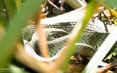 Cobra-de-gua-de-colar - Grass snake (Nuno Camejo) Tags: water grass gua de cobra reptile snake dal culebra rptil collar colar ringed reptil reptilia colubridae natrix biscia squamata cobradeguadecolar collare natrice