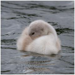 Cygnet (tina777) Tags: bird water wales swan lakes beak feathers cygnet vale glamorgan cosmeston bbcwalesnature