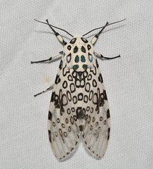 # 8146 – Hypercompe scribonia – Giant Leopard Moth (No. 85 on presentation list) (Wildreturn) Tags: cuivreriverstatepark troy moth missouri mo moths june insects insecta insect lepidoptera lincolncounty
