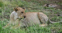 Lion family relaxing after eating an ibex. (dw*c) Tags: trip travel animal animals southafrica nikon lion safari lions lioness lionesses picmonkey