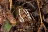 Little cockroach (zosterops) Tags: australia tasmania castra canoneos6d canonmacrolensmpe65 macro insecta blattodea