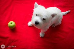 Ready (Bianca) I (ESTjustPHOTO - Elias S Tilavgi) Tags: red dog pet west green apple photography terrier highland ready bianca