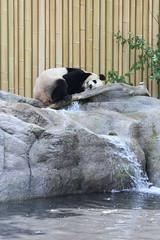 Happy Camper (jmaxtours) Tags: toronto zoo panda giantpanda torontozoo happycamper torontoontario