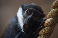 L'Hoest Monkey (nodb652) Tags: zoo monkey edinburgh edinburghzoo lhoest