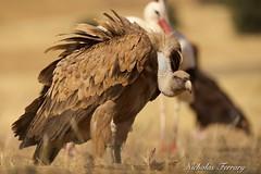 Griffon Vulture's (Nicholas Ferrary) Tags: naturaleza nature birds spain nikon wildlife vultures vulture raptors birdsofprey ciudadreal buitreleonado buitre leonado griffon birdlife griffonvulture d810 valledealcudia nikond810 soaringbirds nikon200400mmvr spanishwildlife nicholasferrary d800e nikond800e