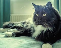 On the bed (Percy the big cat with big whiskers) (Cross Process Effect) (Olympus OMD EM5II & mZuiko 17mm f1.8 Prime) (markdbaynham) Tags: percy cat feline pet cute olympus omd oly em5 em5ii csc mirrorless evil mft microfourthirds m43 m43rd micro43 zd mz zuiko mzuiko zuikolic 17mm f18 prime