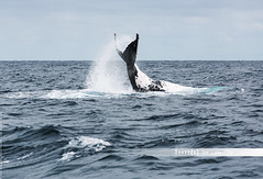 Humpback whales (Terres de lumire photographie) Tags: arnaudelissalde nouvellecaldonie prony provincesud baleinesbosse canon5dm3 lagon terresdelumire whales whalewatching nirvana catamaran caudale nageoire caldoniecharter