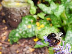 (Hymenoptera: Apidae) Bombus rupestris, Stensnylthumla / Hill cuckoo-bee (holgeric77) Tags: karlstad vrmlandsln sweden se hymenoptera apidae bombusrupestris