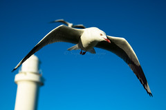 IMG_6333-2 (gsreejith) Tags: silvergull inflight birds birdinflight blue sky